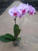 Hồ Điệp-Hồng Phấn-3,5inch