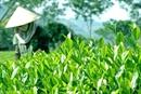 Nâng cao chất lượng, giá trị sản phẩm trà Thái Nguyên