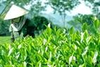 Những thách thức đối với sản phẩm chè Thái Nguyên