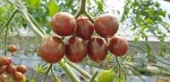Cà chua Cherry siêu ngọt