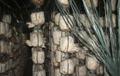Hướng dẫn kỹ thuật trồng nấm bào ngư (nấm sò)