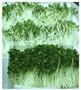 Quy trình sản xuất rau mầm
