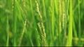 Bi kịch gạo không thương hiệu