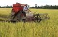 Thị trường lúa gạo vào lúc khó khăn