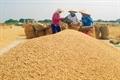 Giá lúa tại ĐBSCL tăng tiếp, gạo thành phẩm giảm nhẹ