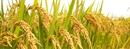 Gạo tám Điện Biên hướng tới sản xuất sạch
