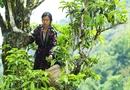Nghị quyết lạ về chè Tuyết Shan Cổ Thụ Tủa Chùa