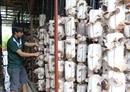 Phát triển nghề trồng nấm ở Điện Biên
