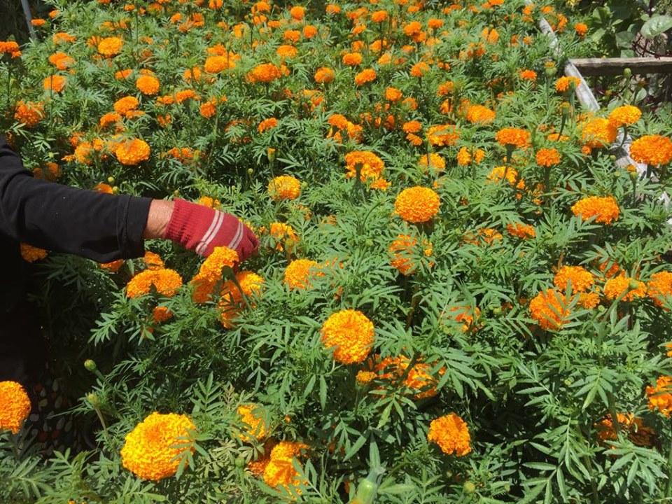 Hương lấy từ cây hoa Vạn Thọ